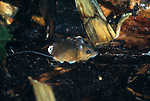 Woodland Jumping Mouse, Napaeozapus insignis