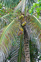 Coconut Palm with coconuts,  Bocas del Toro; Colon Island; Panama