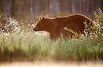 European Brown Bear, Ursus arctos arctos, Kuhmo, Finland, Lentiira, Vartius near Russian Border, foraging in forest, evening sunset