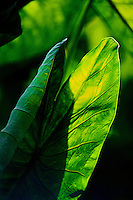 Close-up of crisp green taro leaves, in a field near Hanalei, Kauai.