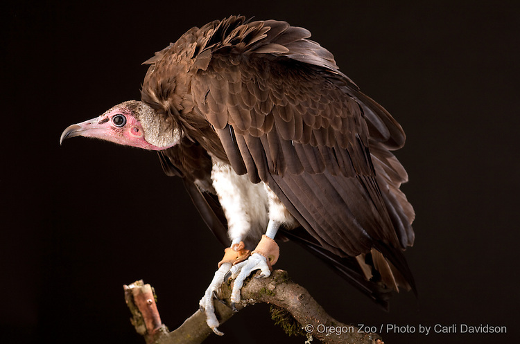 Hooded Vulture (Necrosyrtes monachus)