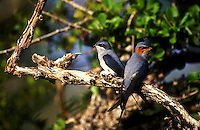 A pair of Crested tree-swifts at the nest.
