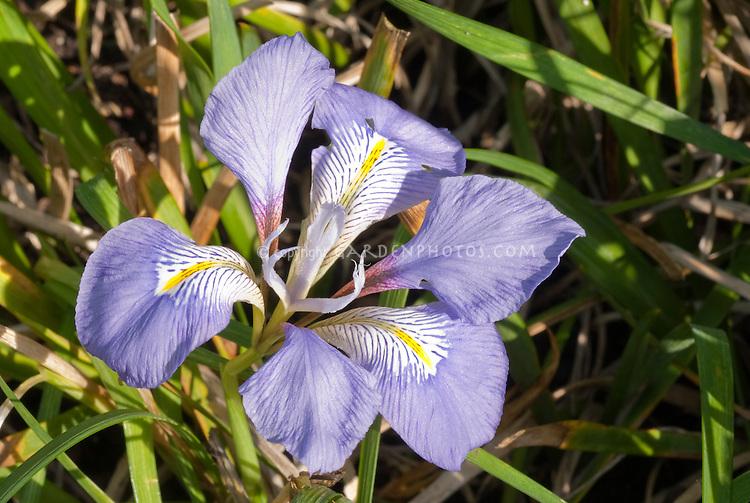 Iris unguicularis in bloom | Winter Algerian Iris