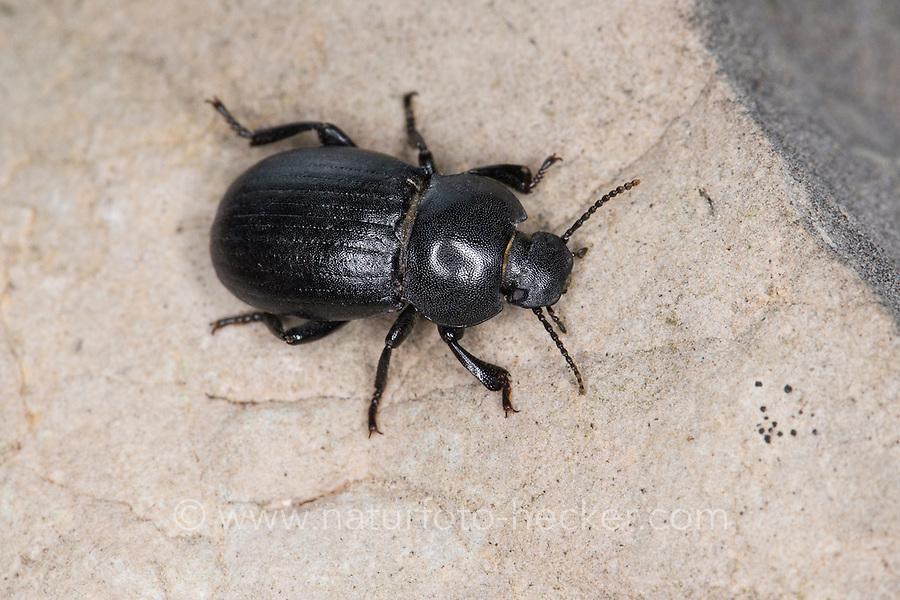 Schwarzkäfer, Bioplanes meridionalis, Tenebrionidae, darkling beetle, darkling beetles. Südfrankreich