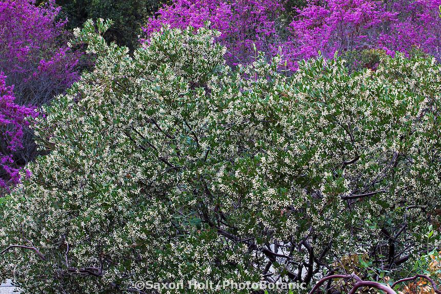 Arctostaphylos densiflora, white flowering manzanita shrub in California native plant garden with Redbud tree