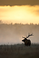 Bull elk at sunrise during the fall rut in Wyoming
