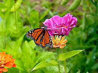 Monarch butterfly on zinnias in garden, Yarmouth Maine
