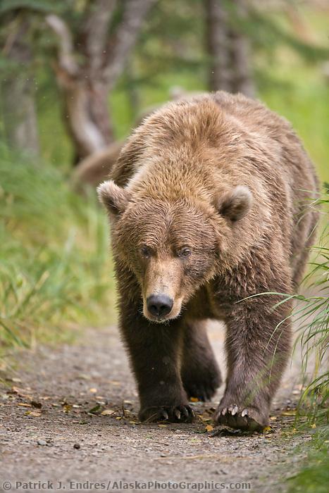 Brown bear walks along a path, Katmai National Park, southwest, Alaska.