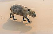 Capybara young (Hydrochoerus hydrochaeris), Pantanal, Brazil.