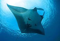 A close encounter with a manta ray at molokini maui hawaii.