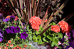 A colorful, tight detail of the edge of a shiny new galvanized trash can used as a creative container to hold a beuatiful array of annuals and perennials featuring the plain geranium (Pelargonium) 'Americana Coral'.
