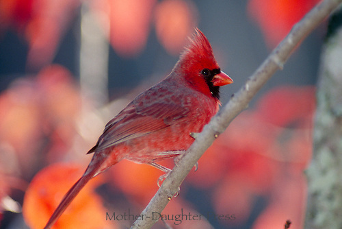 Male cardinal cardinalis in fall season with foliage that compliments his colors, Missouri USA