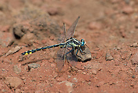 334050001 a wild male pacific clubtail gomphus kurills perches on a rock along ash creek near ash creek campground lassen county california