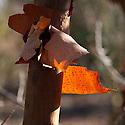 Peeling bark of paper-bark maple (Acer griseum), end January.