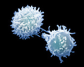 Lymphocyte white blood cells or leukocytes. SEM X8000.  **On Page Credit Required**