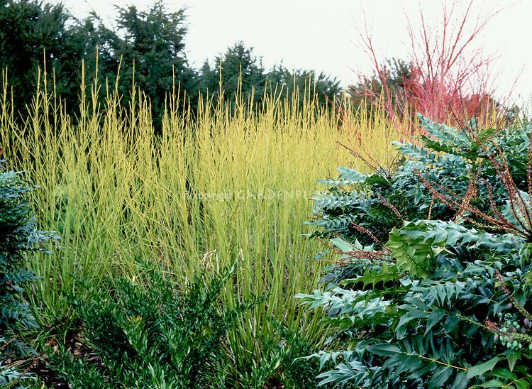 Mahonia aquifolium 'Apollo', Acer palmatum 'Senkaki' aka 'Sango Kaku', Cornus stolonifera 'Flaviramea', Sarcococca in winter interest colorful garden
