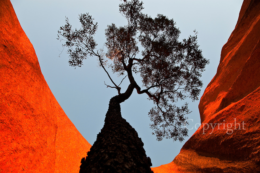As the sun sets on Uluru it radiates an unreal and other-worldly red glow. This  lasted about 10 minutes.I circumnavigated this Bloodwood tree with a wide angle lens.<br /> As most people will be viewing the sunset from the viewing area if you find a spot like this close to the rock you can find alone in the magic