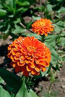Zinnia elegans (Orange Splendor), Hybrid Common Zinnia, Aster Family, Flowering Plant, Botany.Phil Degginger