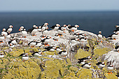 Atlantic Puffin (Fratercula arctica) Resting as a colony on the top of the cliff. They return after a fishing trip and a delivery of Sand eels to the burrows to rest up gather in number then fly out to sea on another trip. Bright colouring dominates the bird in the breeding season as in this image. The behaviour is also indicative of the breeding season. Sand Eels form their main diet when breeing, so an important resource.