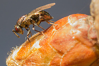 Chalcid gall wasp laying eggs on oak (Quercus sp.). Surrey, UK.