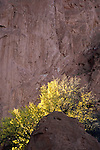 Backlit autumn leaves against cliff, Garden of the Gods Park, Colorado Springs, Colorado