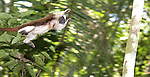 ..Wild Cotton-top tamarin (Saguinus oedipus) appears to fly through the air as it jumps from branch to branch in the dry tropical forest of Colombia  (never before photographed)...IUCN List: Critically Endangered..Digital Capture