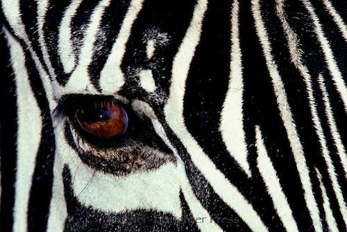 Close up of zebra eye, Equus Grevyi, Kenya africa