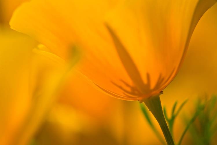 Close-up view of a single Mexican Gold Poppies, Eschscholtzia mexicana, in Hewitt Canyon, Superstition Wilderness Area, Arizona