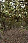 Moss covered tree prehistoric forest in the Parque nacional de Garajonay, Unesco world heritage site. La Gomera, Canary Islands.