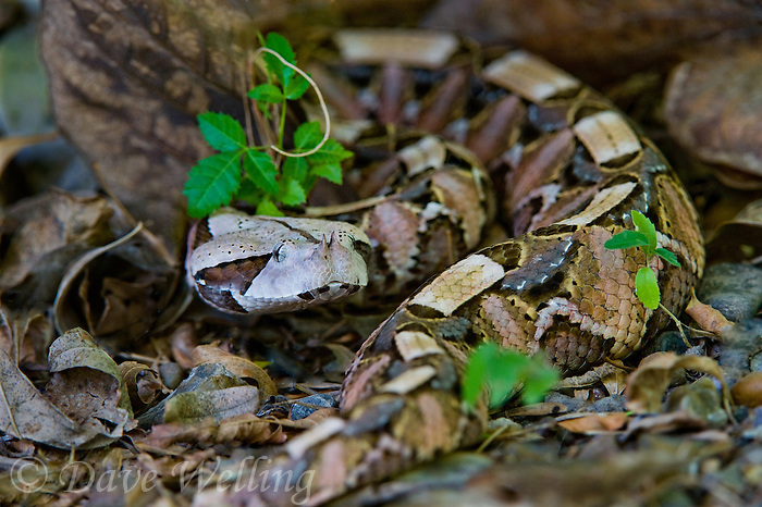 489250007 a captive gaboon viper bitis gabonica sits coiled in leaf litter species is a ground dwelling deadly viper it is the heaviest and has the longest fangs of any viperid and is native to western sub-saharan africa