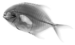 X-ray image of a pompano fish (black on white) by Jim Wehtje, specialist in x-ray art and design images.