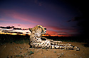 Cheetah. The future of the Cheetah is in the balance. The population of cheetahs in Namibia has declined by half in the last ten years, if left unchecked this would soon lead to their extinction. Cheetah. Cheetahs are Africa's most endangered cat, less than 15,000 remain in 26 African countries, and less than 50 found in Iran, the last of the Asian cheetah. Namibia is the Cheetah Capital of the World with approximately 3,000 free-ranging individuals of which 95% are outside protected areas on commercial livestock and game farms, resulting in conflict with humans.