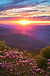 Sunset light illuminates the blooming rhododendron, Pisgah National Forest, Blue Ridge Parkway, North Carolina
