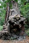 redwood burl at the Redwood Loop