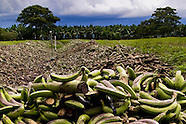 Central America, Panama, Changuinola. Bananas thrown away behind the banana plantation. About twenty percent of the whole banana harvest is thrown away with no use because the fruit does not meet the company standards to be sold in Europe and the US. - 17.09.2004, DIGITAL PHOTO, 54 MB, copyright: Jan Sochor/Gruppe28.