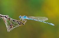 Familiar Bluet, Enallagma civile, male with dew, Willacy County, Rio Grande Valley, Texas, USA