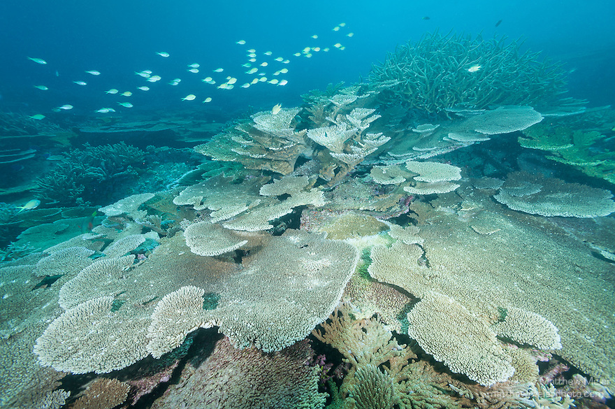 Nilandhoo Giri, Nilandhoo Island, Huvadhoo Atoll, Maldives; a school of Ternate Chromis fish swimming above a large numbers of (Acropora sp.) stony corals and plate corals populating a shallow water coral reef