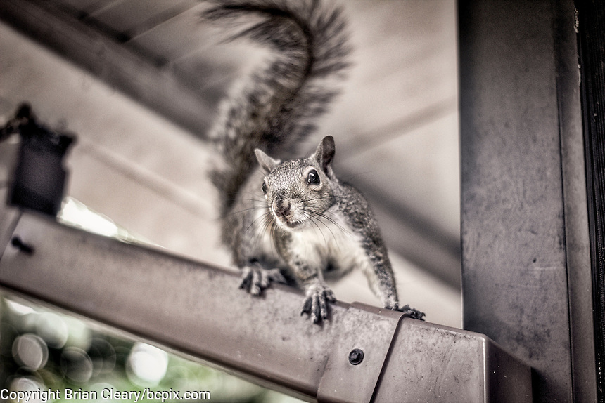 A squirrel in a Holly Hill, Fl backyard in April 2016. (Photo by Brian Cleary/ www.bcpix.com )