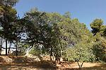 T-035 Kermes Oak in Sharafat, Jerusalem