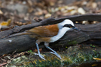 The White-crested Laughingthrush (Garrulax leucolophus) is quite vocal; these birds often chatter continuously as they move along the forest floor. (Kaeng Krachan, Thailand)