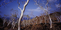 November 4th, 2003_TIMOR-LESTE_ Eucalyptus trees stand fast on the hillside, lining the road between Dili and Manatuto. Photographer: Daniel J. Groshong/Tayo Photo Group