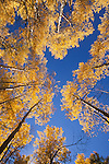 Looking skyward through quaking aspen (Populus tremuloides), Gunnison National Forest, Colorado