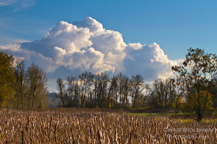 A painterly landscape scene of cattails in the foreground, bare trees in Fall and classic clouds in a blue sky is seen in the Ridgefield National Wildlife Refuge.