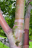 Betula albosinensis tree bark birch