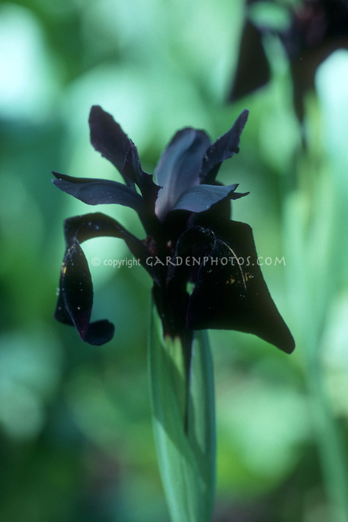 Iris chrysographys 'Black Form' black flower