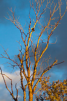 An adult bald eagle (Haliaeetus leucocephalus) is seen in a bare tree on a branch preening his claw with clouds and blue sky day behind him while the golden hour of the sunset is seen shining on the scene in the Ridgefield National Wildlife Refuge