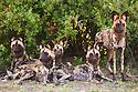 African wild dogs (Lycaon pictus) resting under shady bush, looking alert, Botswana, Okavango Delta, Moremi Game Reserve