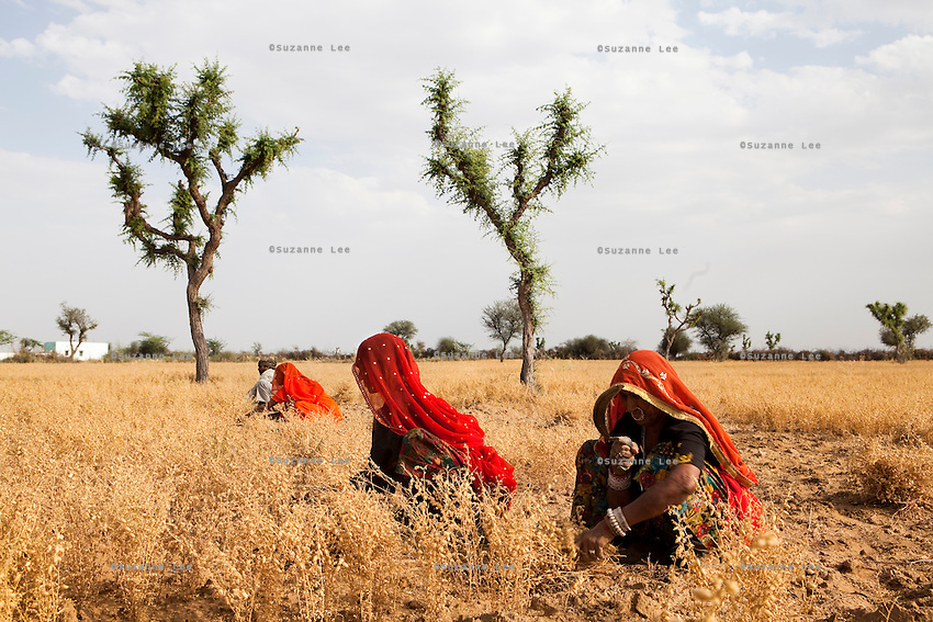 Choti Devi (right), aged 63, harvests Bengal Gram from her field in Balaji ki Dhani, Bauli, Nagaur District, Rajasthan, together with hired labour. Barefoot solar engineer Santosh Devi who graduated from a  solar course in the Barefoot College in Tilonia, Ajmer, Rajasthan, India, had provided Choti Devi with solar power and lanterns improving her life by allowing her to protect herself from poisonous monsoon insects and work late in the fields, cook in the night, and protect her cattle when they return from grazing after sunset. Photo by Suzanne Lee for Panos London