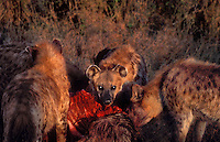648405007 a pack of wild spotted hyenas crocuta crocuta feed on a wildabeast kill on the open plains of the masai mara reserve in keyna in east africa