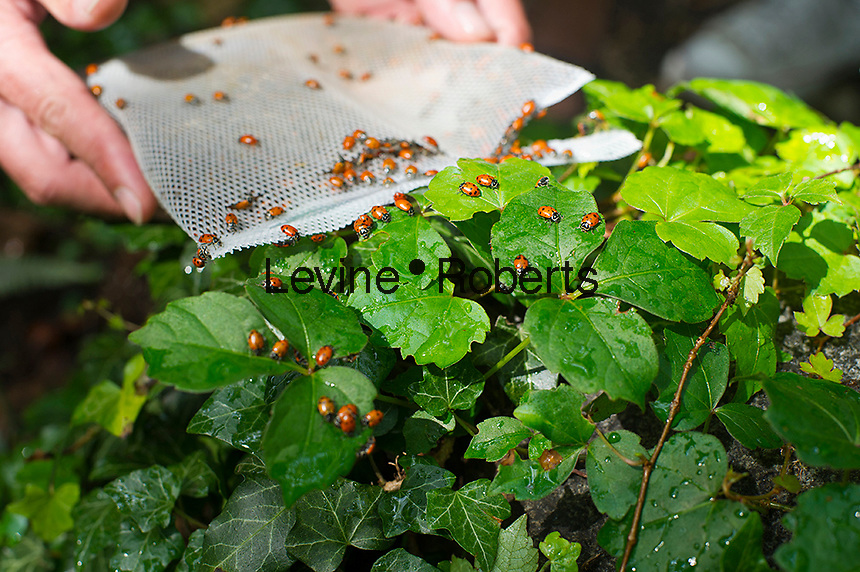 140,000 ladybugs have a new home in the M'Finda Kalunga Community Garden in the Lower East Side neighborhood of New York, seen on Sunday, June 23, 2012.  The  gardeners released the bugs in an effort to keep the aphids under control.  To welcome the new residents of the garden, the gardeners had a festival inviting children and adults from the area to participate in the release of the ladybugs.  (© Frances M. Roberts)